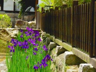 Hoa diên vĩ tím và hàng rào gỗ