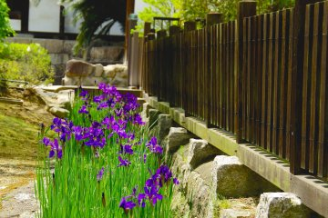<p>Purple iris and wooden fence</p>