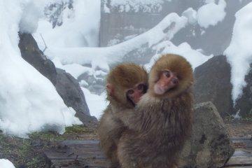 Jigokudani Monkey Park in Nagano