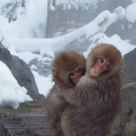 สวนลิงจิโกะคุดะนิ ในนะกะโนะ
