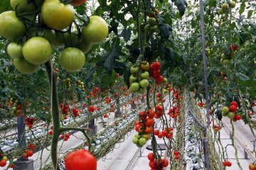Tomato Land Iwaki