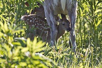 <p>Bambi in Japan</p>