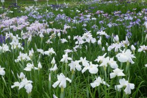The Irises are at their peak of blooming from mid-June to early July.