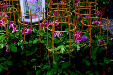 <p>Potted morning glories are around 2000 yen</p>