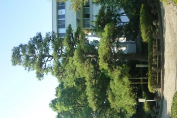 Pine tree planted by Emperor Taisho.