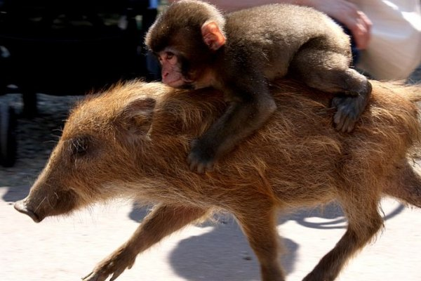 Miwa the macaque plays piggyback on Uribo the baby boar