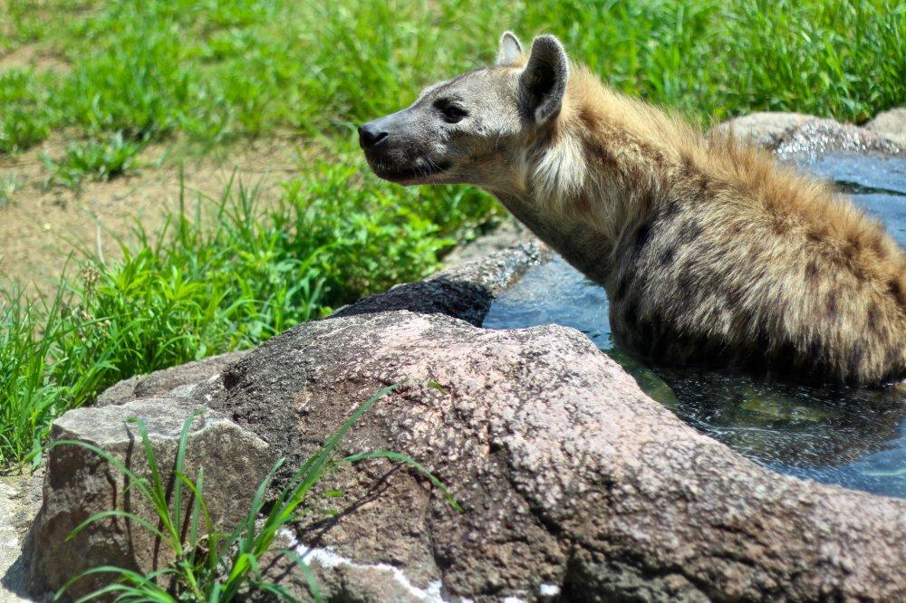 หมาป่าไฮยีน่ากำลังแช่น้ำคลายร้อน