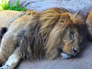 ซิมบ้าสิงโตจ้าวป่ากำลังนอนตามตูดสิงโตตัวเมีย ฮ่าๆ