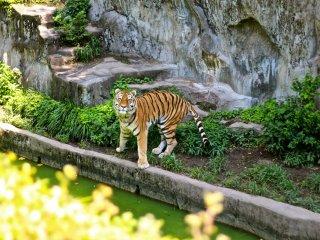 เสือตัวนี้ท่าทางจะดูไม่เบา พอเห็นคนมายืนดูก็เดินลงบันไดมาอวดศักดา ดูน่าเกรงขามเลยทีเดียว