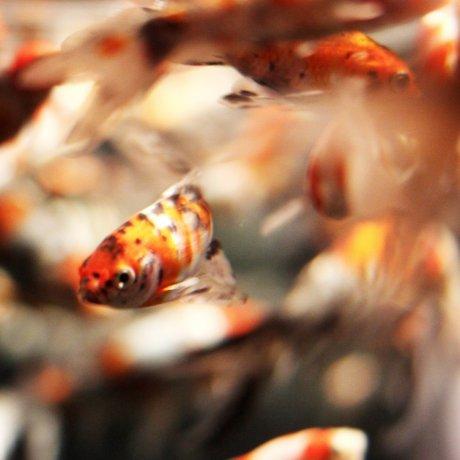 Art Aquarium in Nihonbashi