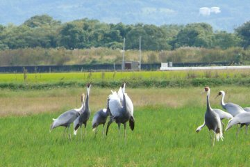 <p>A group of cranes playfully posture in the tall grass</p>