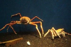Taka ashi (tall leg) crabs