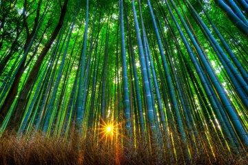 <p>Bamboo grove during sunset</p>