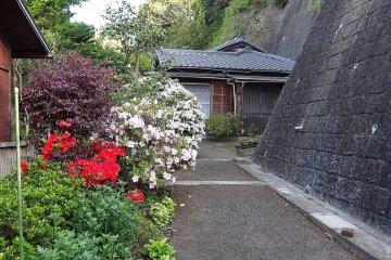 <p>ต้นอะเซลเลีย (azalea) ออกดอกสีชมพูดกพราวเต็มต้น</p>