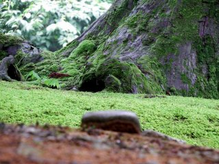 Green plants and moss-covered trunk of a cedar tree