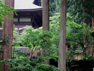 Tall, ancient cedar trees stand in the temple grounds, everywhere