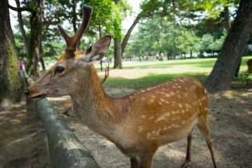 A Walk through Nara Park
