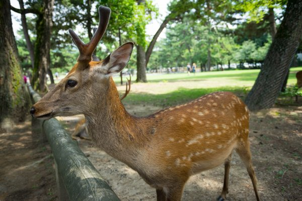 Wild deer that you will encounter