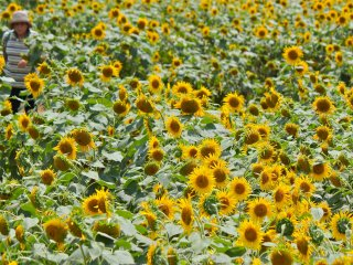 A Japanese envoy to China during the Tang Dynasty brought back the sunflower to Japan in the Edo period