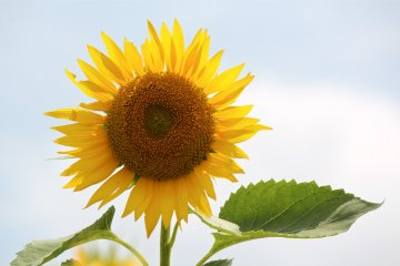 Sunflower Field at Kurihara, Zama