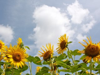Sunflowers can reach over 3 meters high