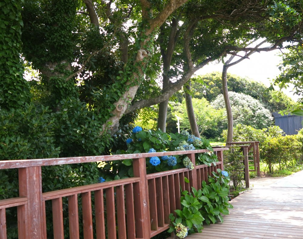 植物园外的风景:紫阳花