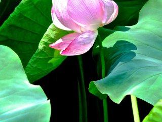 우에노 공원의 연꽃
