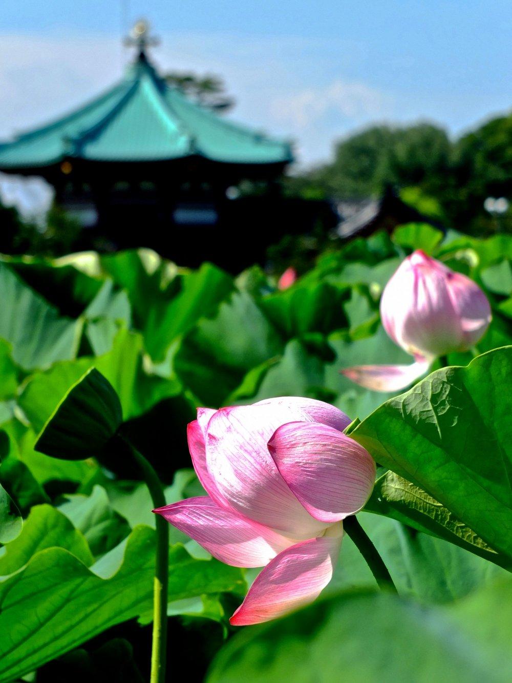 Enjoy japanese lotus at ueno park tokyo japan travel japan lotus with chinese pavilion in the background at ueno park izmirmasajfo