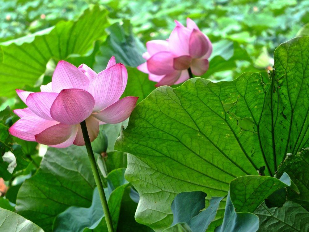 Два друга лотоса в саду Санкеи-эн, Йокогама