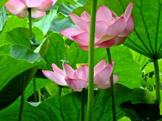 Три розовых лотоса в полном расцвете в саду Санкеи-эн, Йокогама