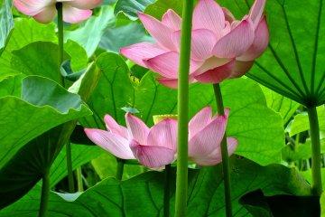 <p>Три розовых лотоса в полном расцвете в саду Санкеи-эн, Йокогама</p>