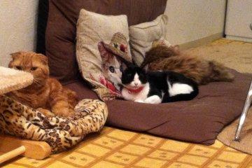 <p>Maneki&nbsp;Neko is a paradise for both cats and cat lovers alike&nbsp;</p>