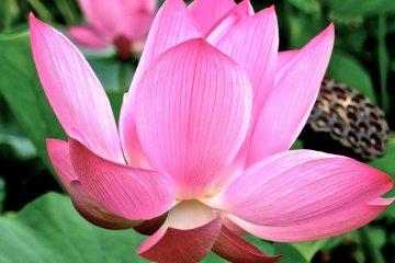<p>Lotus flowers and pod&nbsp;in Gyoda City, Saitama</p>