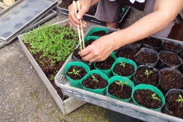 <p>Planting tomatoes</p>