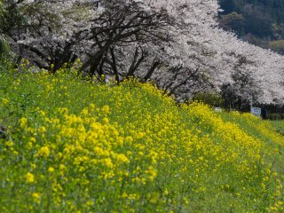 강은 주변의 벚나무들과 다른 아름다운 꽃들과 함께 흐르고 있다 - 꽃이 한창 필 때 가서 눈이 호강했다.