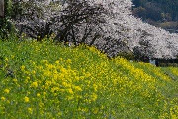<p>강은 주변의 벚나무들과 다른 아름다운 꽃들과 함께 흐르고 있다 - 꽃이 한창 필 때 가서 눈이 호강했다.</p>