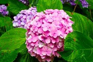 Algumas coloridas hortênsias ainda em flor, perto da entrada da estação de Gokurakuji