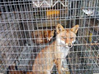 Ce n'est pas rose pour tout le monde. Un petit nombre de renards ou autres animaux sont enfermés dans de très petites cages avec peu d'abris et de liberté
