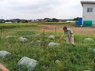 Ông Okui đang chăm sóc cánh đồng