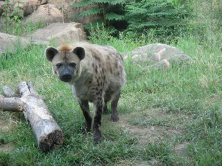 A spotted hyena faces visitors with curiosity