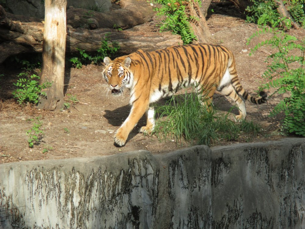 A tiger paces back and forth while eyeing visitors