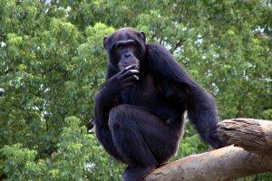 الشمبانزي المشاغب
