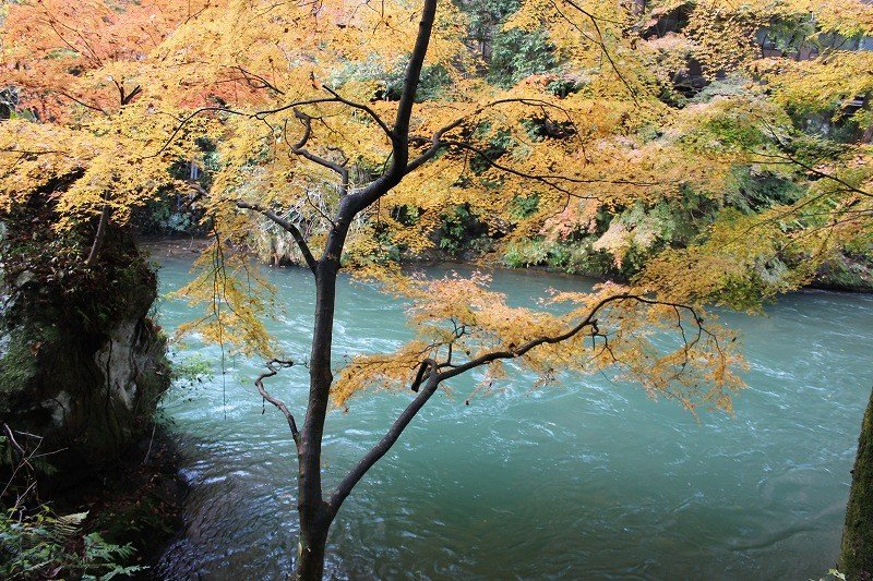 大聖寺川の水の色に紅葉が映える