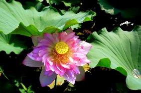 Kebun Bunga Teratai di Pedesaan