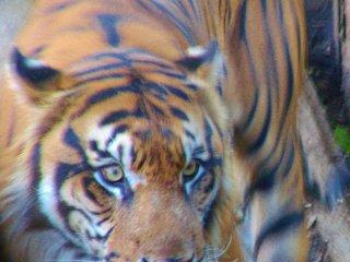 Un tigre du zoo près à bondir