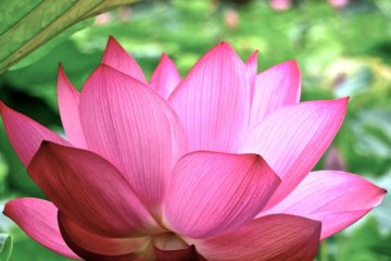 Guide to Enjoying Lotus Viewing - 1