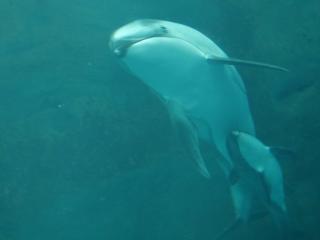โชคดีชั้นที่สอง น้องโลมาเพิ่งเกิดได้ 10 วัน เกิดเมื่อวันที่ 23 สิงหาคม ยาว 95cm หนัก 12 กิโลกรัม เขาจะว่ายตามแม่ตลอดๆ
