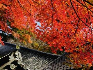 長い登廊(階段)の中段。上から垂れ下がる真っ赤な楓が歓迎してくれる