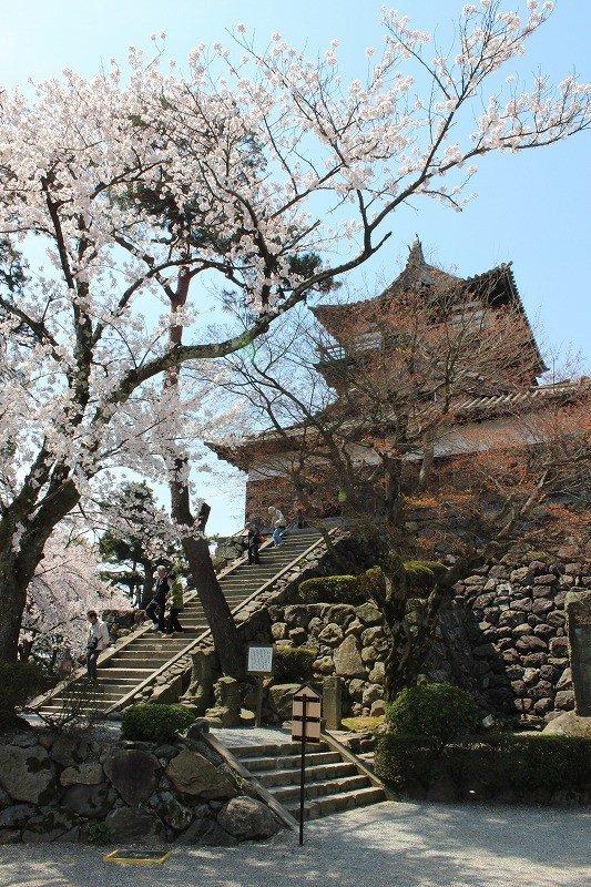 桜が満開の丸岡城