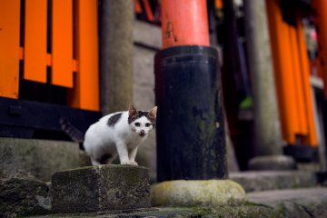 <p>&quot;Meow&quot;! A kitten stands guard beneath one of Fushimi Inari&#39;s orange &#39;torii&#39; gates</p>